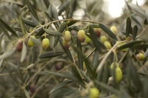 olijfjes